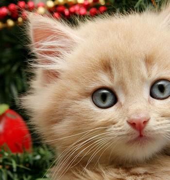 Χριστουγεννιάτικες γιρλάντες & φωτάκια: Πόσο επικίνδυνα είναι για τη γατούλα μας;